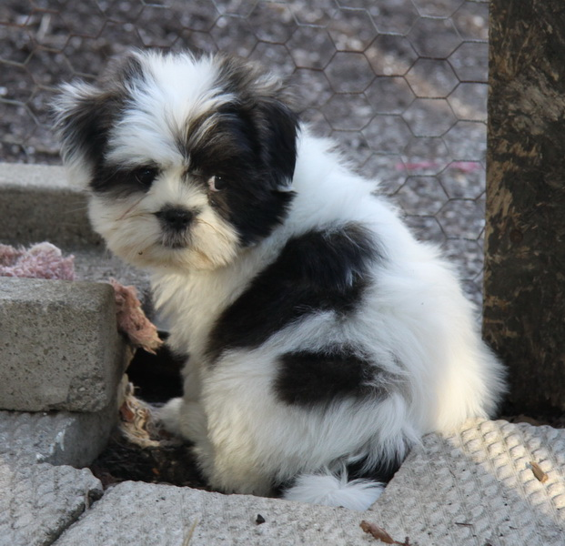 spotted shih tzu puppy : Puppies for Sale : Dogs for sale in Ontario ...