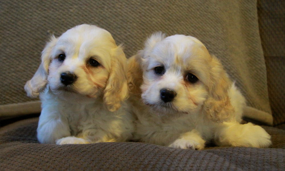 Cockapoo Dogs For Sale Ontario