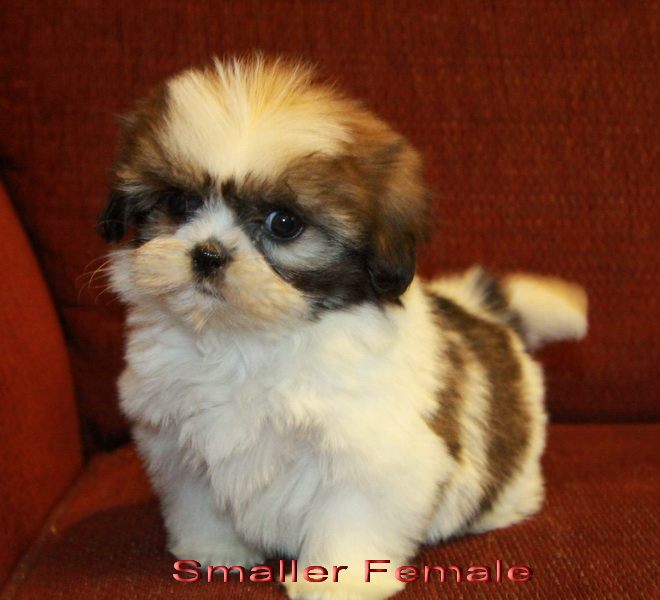 tiger shih tzu puppy : Puppies for Sale : Dogs for sale in Ontario ...