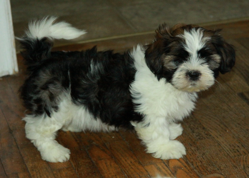 tricolour shih tzu puppies for sale : Puppies for Sale