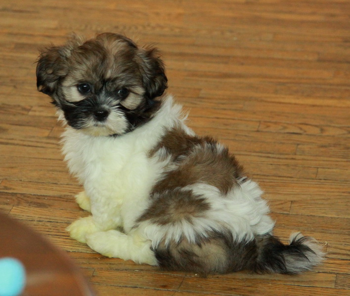 Choosing Shih Tzu Puppies For Sale Puppies For Sale Dogs For