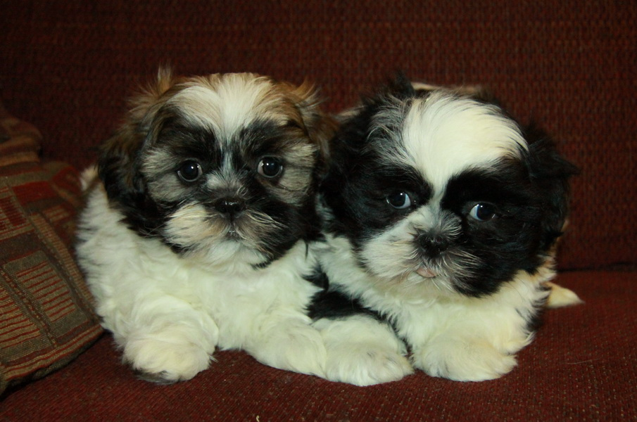 brown white shih tzu puppy : Puppies for Sale : Dogs for ...
