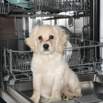 Dishwasher cockapoo puppy!