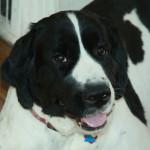 Newfoundland x Golden Retriever Puppies!