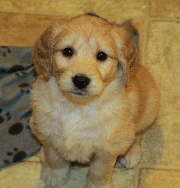 16 Puppies For Sale Dogs For Sale In Ontario Canada