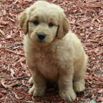 Golden Doodle Puppies For Sale