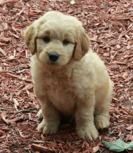 Gorgeous golden doodle puppies