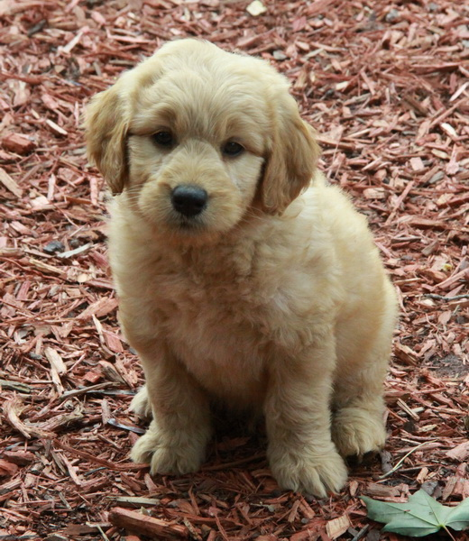 Goldendoodle Puppies For Sale Dogs For Sale Puppies For