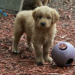 goldendoodle puppies for sale 7