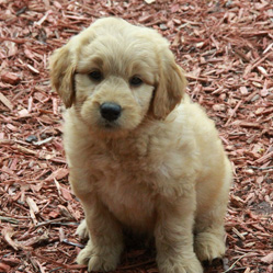 goldendoodle-puppies-for-sale-12b