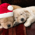 Puppies For Sale at Christmas