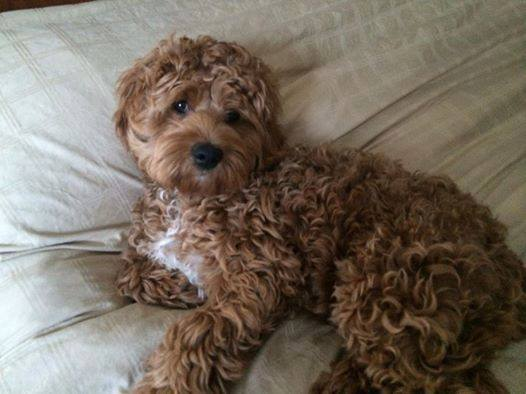 curly low shedding cockapoo puppy : Puppies for Sale : Dogs