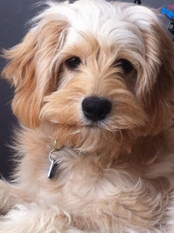 Adult cockapoo for sale