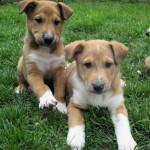Sheltie x Shepherd puppies
