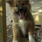happy German shepherd x collie puppy
