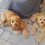 Adorable cockapoo puppies for sale