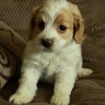 White/Apricot Cockapoo puppy