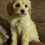 Cockapoo Puppies At Play – Watch What Happens When They Discover Something New!