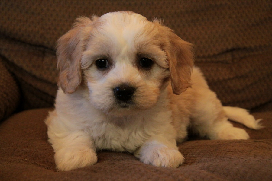 Havanese Dogs For Sale In Ontario