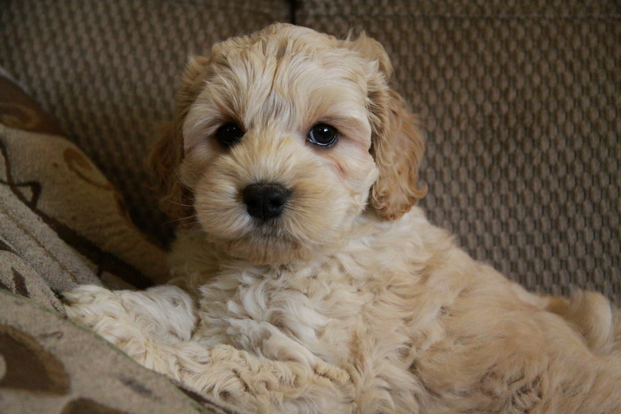 Cockapoo Puppies for Sale by Cocker SpanielPoodle Dog