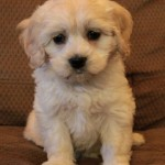 Cocker Spaniel x Havanese Puppies For Sale