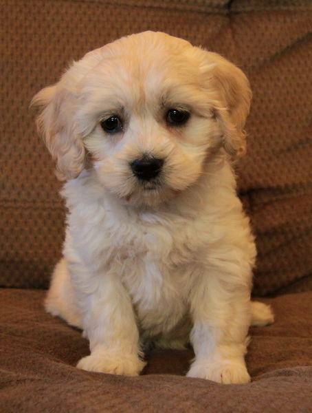 Puppies For Sale In Ontario Dogs For Sale Puppies For Sale In
