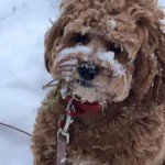 Cockapoo snow
