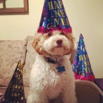 Cockapoo birthday
